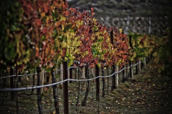 Fall-Vineyard-703x468